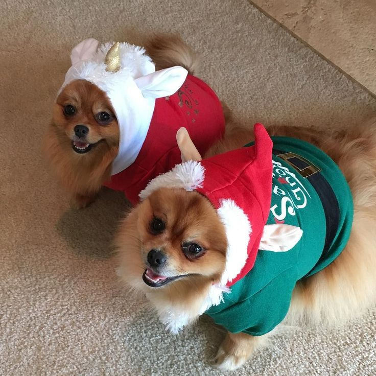 Happy Twosday! maxandmia mycutepoms pomeranian