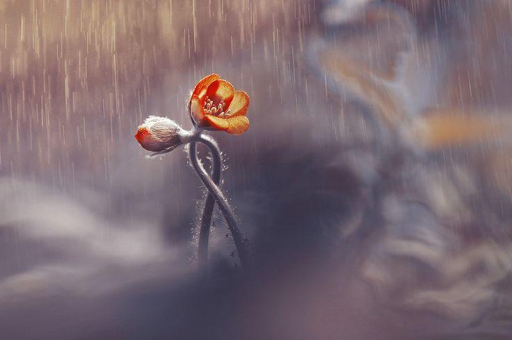 Двое под дождем и др. или серия в золотых тонах -   Гидромет прогнозирует тепло и ясную погоду к выходным. А покамест в родном городе дождь. Но как прекрасно небо, ребяты. Как оживает природа. Какая же красота кругом.  #фотограф #цветы #красота #дождь #photographer #flowers #beau