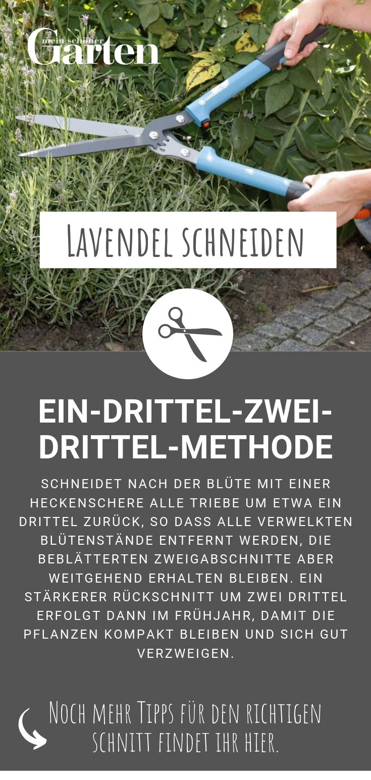 Lavendel schneiden: Ein-Drittel-Zwei-Drittel-Methode
