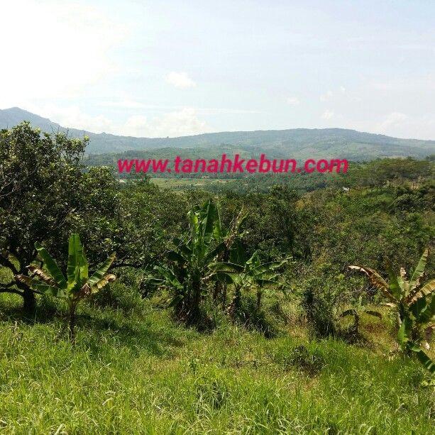 Dijual tanah kebun di citeureup bogor luas 30 hektar SHM. Price 180.000/permeter nego more info www.tanahkebun.com