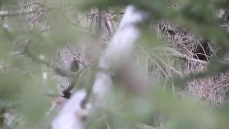 Video #2: Todd Standing Bigfoot video as seen in 2nd Survivorman Bigfoot...