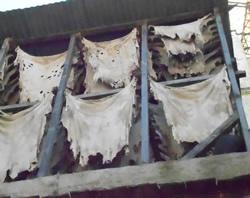 Tannerie guerniz :  Travail artisanal du cuir au Maroc
