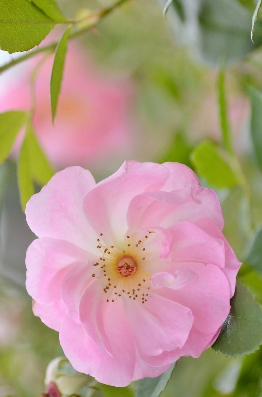 'The Lady's Blush' | Shrub. English Rose Collection. David C. H. Austin, 2010 | Flickr - © snowshoe hare*