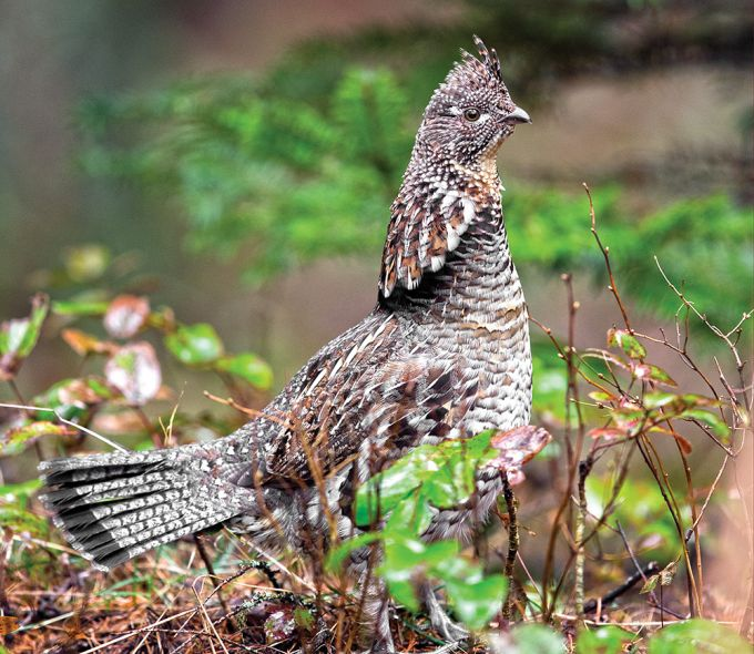 How to Find More Grouse Off the Beaten Path | Outdoor Life