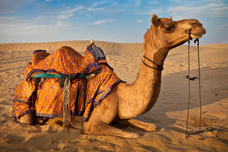 Rajasthan Tour have a great experience of desert where the traveler can enjoy the Camel safari with culture dance, music, folk dance. 35 Kms ahead from the Jaisalmer huge sand dunes