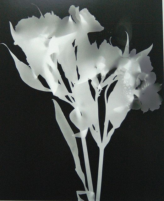photograms - a gallery on Flickr the flowers are 3d so there is a shadow. some of the petals are translucent while the others are opaque, this causes the image to appear like a x-ray and I could use flowers in my own photograms to replicate this effect