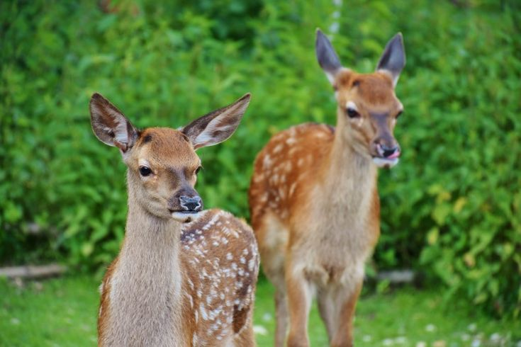 Download this free photo here www.picmelon.com #freestockphoto #freephoto #freebie /// Two Wild Deers | picmelon