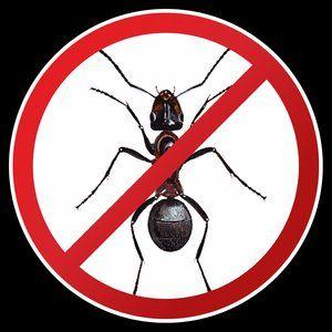 Чтобы избавиться от муравьев в саду, используйте проверенное средство.