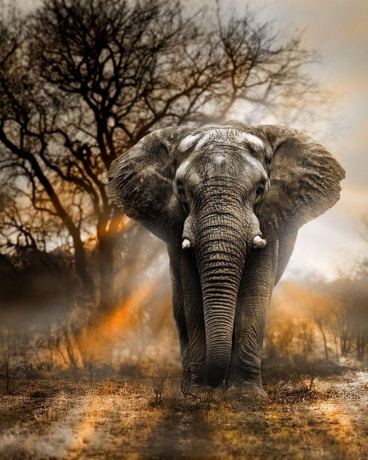 Bull elephant at sunset - photo by George Veltchev, via 500px