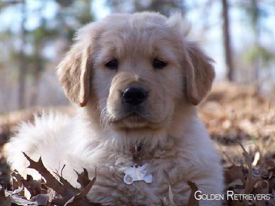 Golden Retriever Pup Goldenretrieversp Goldenretrieverdaily