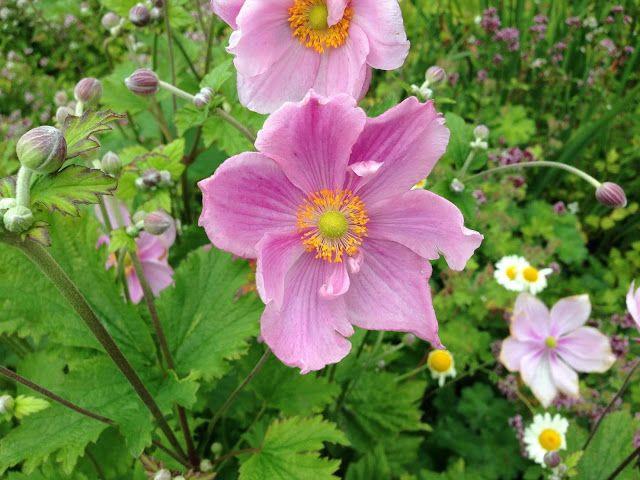 Kochajmy Kwiaty Malwy Wracaja Do Lask Staly Sie Znowu Modne Plants