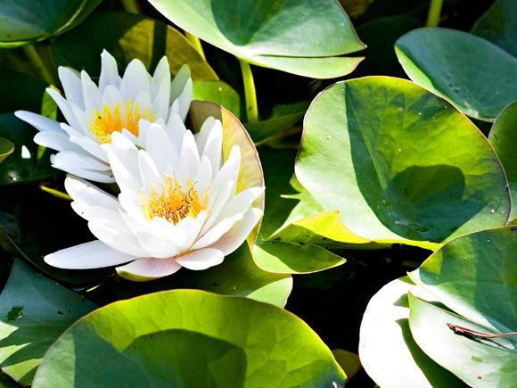 Vesiaihe virkistää puutarhassa – Lumpeet