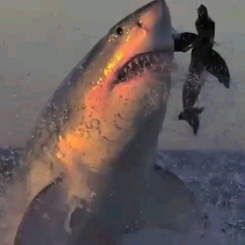 Sadly, this massive white shark has fallen into the lure, believing that the floating physique on th