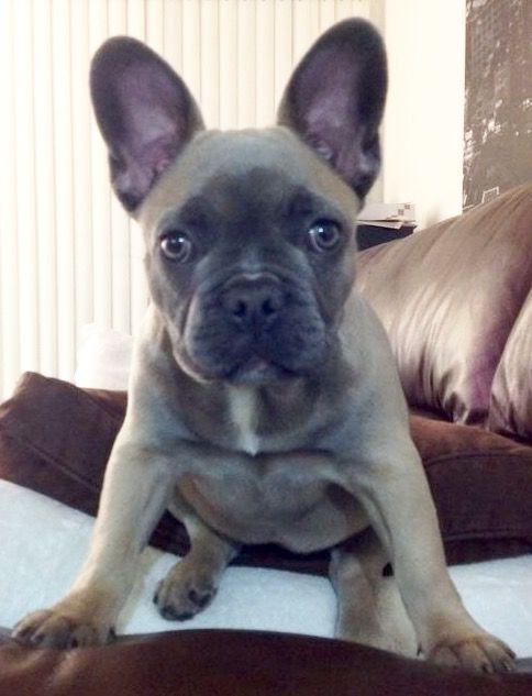 Best 25+ Fawn french bulldog ideas on Pinterest   French ...   484 x 633 jpeg 40kB