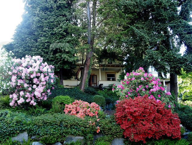 Many flowering shrubs, like these azaleas and rhododendrons, bloom in the spring. Continue the show throughout summer with a rose-of-sharon bush, and keep the blooms going until frost with a butterfly bush.