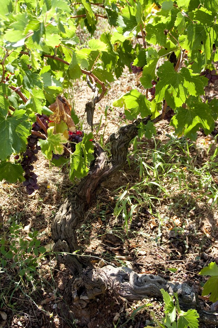 Ancient grape vine in Alexandroupolis, Greece