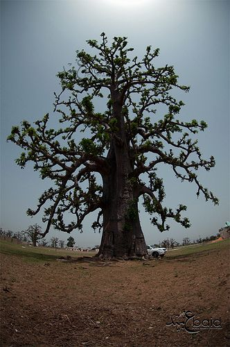 A Baobab Tree, Senegal.