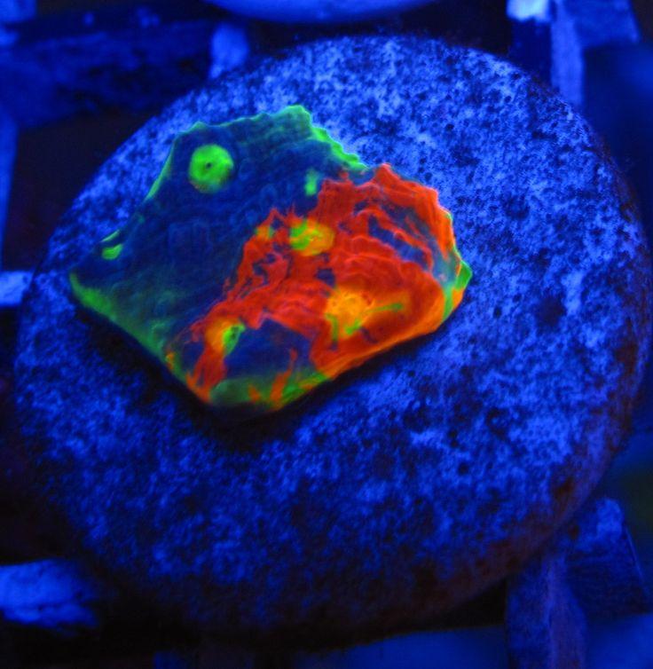 Copy of Cornbred's Rainbow Crush CHALICE   Corals/ Sea ...