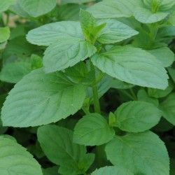 Eau De Cologne Min,Mentha x piperita f. citrata. This plant is great to use in homemade soap and if it gets loose in your yard will make mowing a pleasure because it smells so good. If you live near me and want a start, email me and I will share.