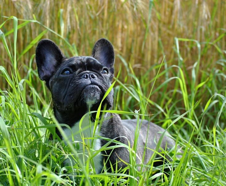 Fransk bulldog