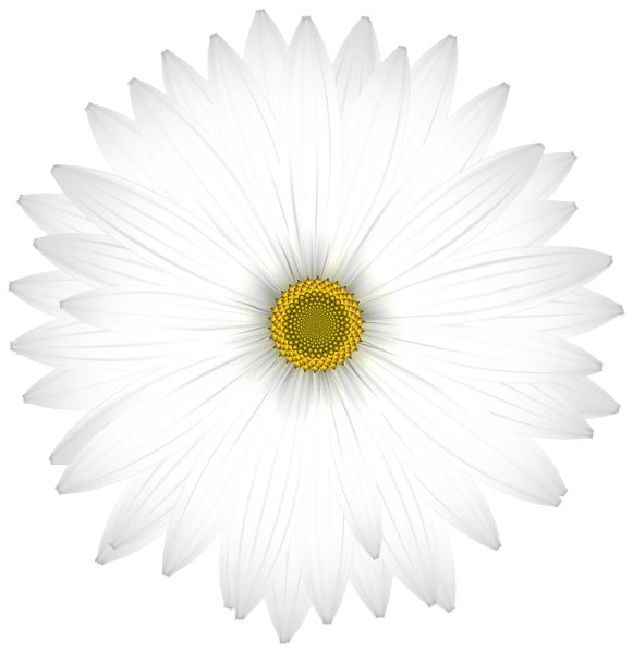 Delicate White Daisy Transparent PNG Clip Art Image