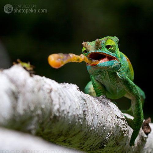 """Chameleon eating bug,"" by Giovanni Mari"