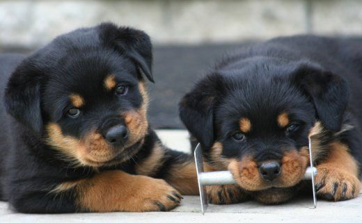 Miss Bear everyday!! the moment I can get another one I will! Rottweilers <3