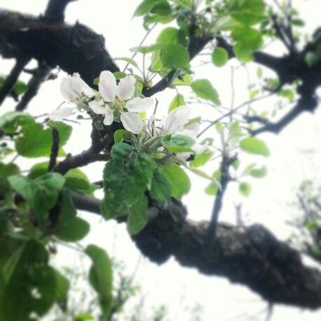 Appelblossom
