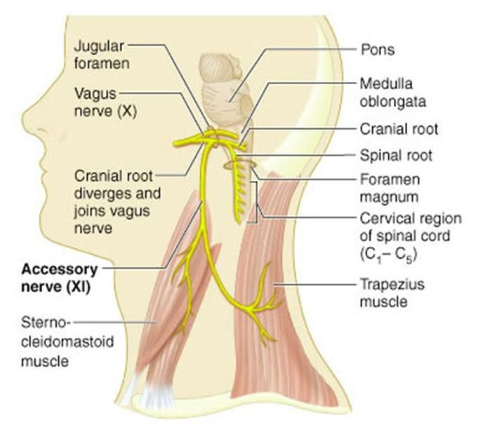 13 Best Study Help Images On Pinterest Anatomy Cranial Nerves