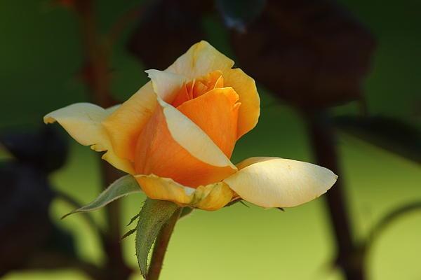 raquel-amaral.artistwebsites.com Yellow rose flower at the Danville library park.