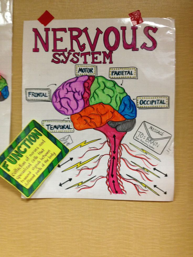 Nervous system | Anchor charts | Human body systems, Body ...