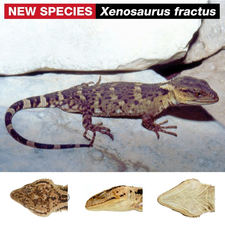 Species New to Science: [Herpetology • 2018] Xenosaurus fractus • A New Species of Knob-scaled Lizard (Xenosauridae, Xenosaurus) from the Sierra Madre Oriental of Puebla, Mexico
