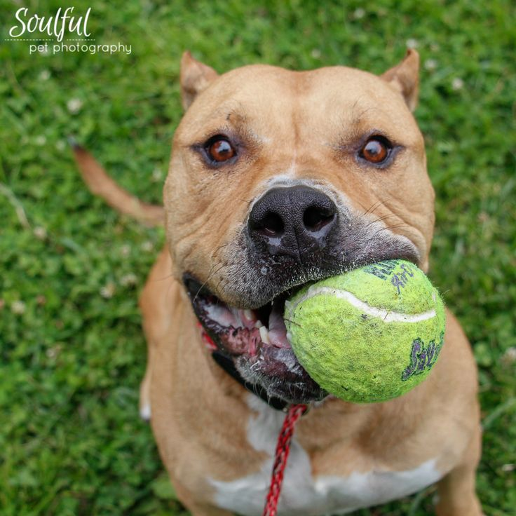 Ringo here! I'm a happy guy who's about 5 years old. I'm what they call a ball-dog, I'll chase a tennis ball all day. I may even be a good fetcher! I'm also very playful and love any and all toys. Come meet me if you're looking for someone to brighten your day! Ringo is ACR# 27231 at Oakland Animal Services.