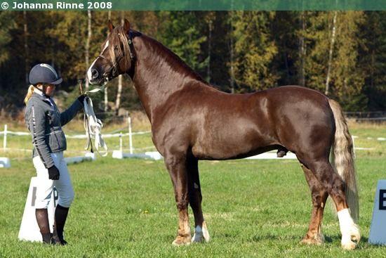 Welsh Cob Section D Stallion Kotim 228 En Magician Welsh