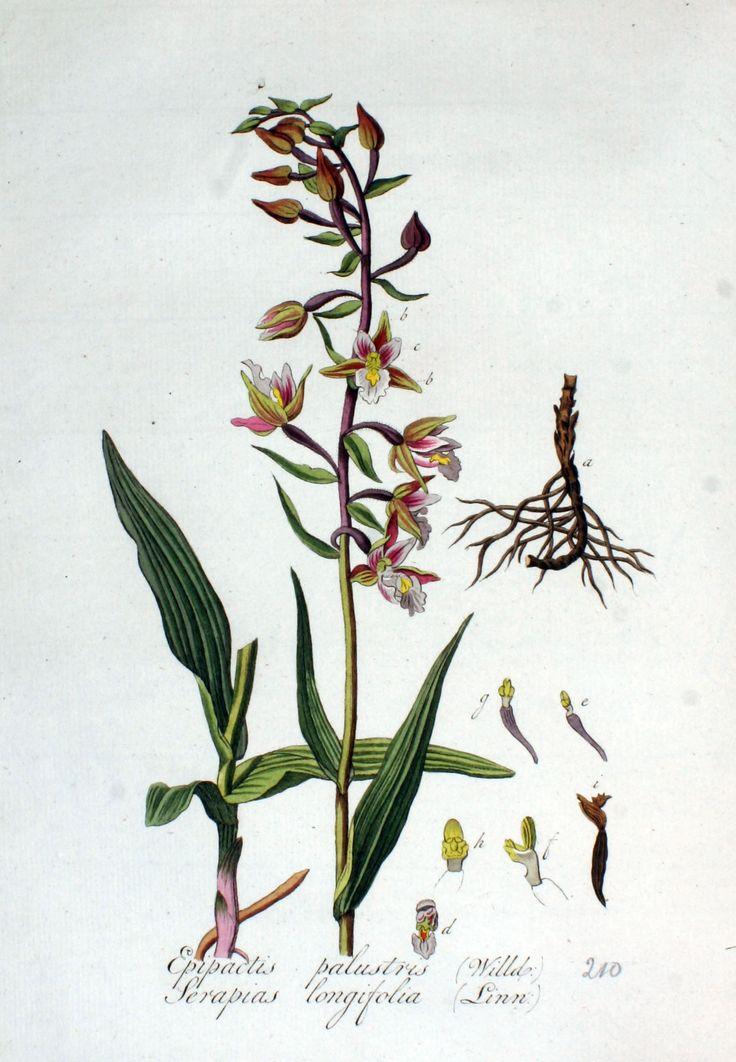 Serapias_longifolia_—_Flora_Batava_—_Volume_v3.jpg (1422×2052)