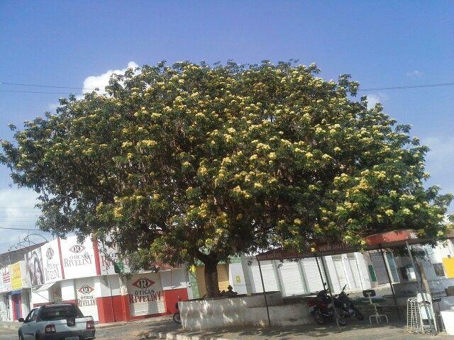 Árvore da Praça Noé Carvalho, no coração de São João do Piaui.