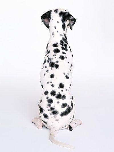 dalmatian dalmatian dalmatian