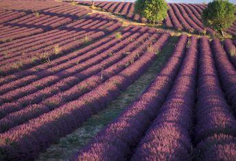 Les vastes étendues de lavandes et de lavandins du Plateau de Valensole, à découvrir chaque année au début de l'éré