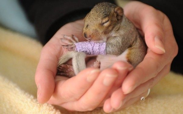 This baby squirrel suffered injuries to her leg and was separated from her mother when she fell from a tree – and she is not even three weeks old. The grey squirrel endured the ordeal when the branch her nest was laying on was cut down. Fortunately, the couple cutting down the tree spotted her and immediately phoned the Wildlife Aid Foundation. The org took her in, bandaged her leg, and have been feeding her a special milk formula, similar to that her mother would have provided.: Cute Baby, Purple Cast, Arm Cast, Tiny Baby, Baby Squirrels, Tiny Purple, Trees, Baby Animal, Nests