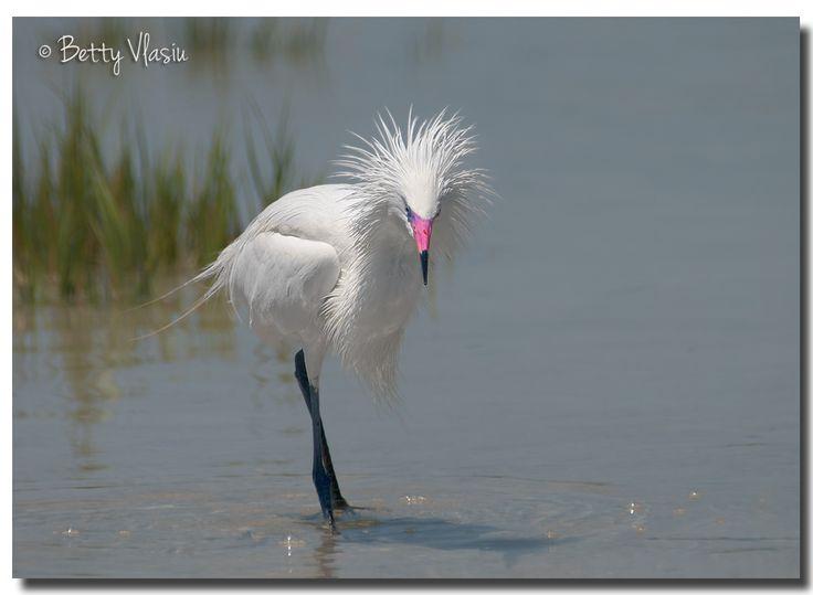 https://flic.kr/p/SmZnw3 | White Morph Reddish Egret