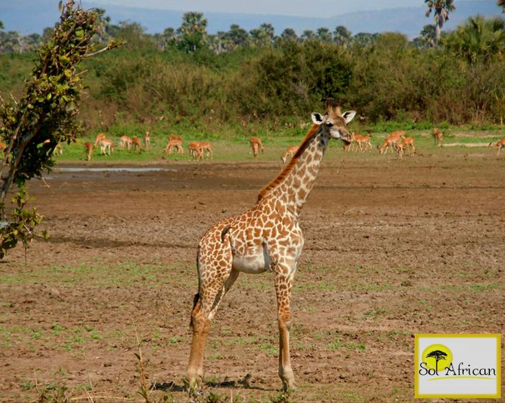 Sunny day in the wilderness! #giraffe #herd #Africa #SouthAfrica #adventure #explore #discover #holiday #travel #holidaydestination #idealholiday #fun #wild #wilderness #safari #tour #tourism #tourist #tourismagency #exotic