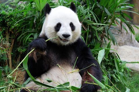 most endangered animals panda