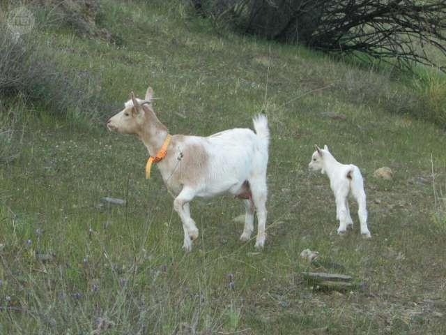 MIL ANUNCIOS.COM - Cabras . Venta de cabras de segunda mano . cabras de ocasión a los mejores precios.