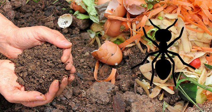 ¿Hormigas en la compostera?
