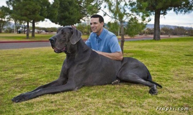 George, the largest dog in the world according to Guinness, a beautiful blue Great Dane.... I WANT ONE!!