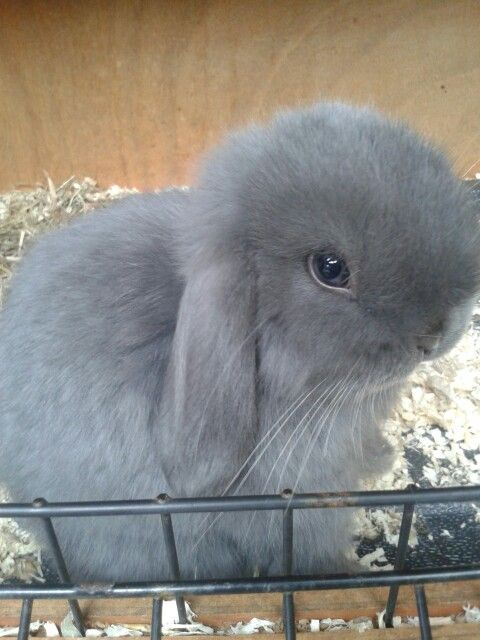 Bella my blue eyed bunny! ♥