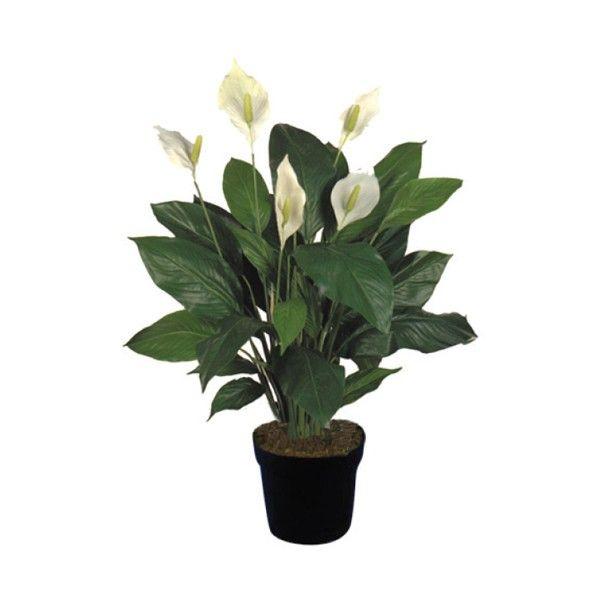 23 best images about 9 cuna de moises espatifilo espatifilum bandera blanca spathiphyllum - Planta cuna de moises ...