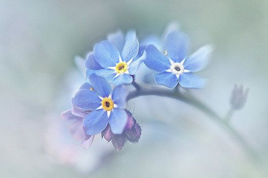 Forget-Me-Not by Kay Jantzi