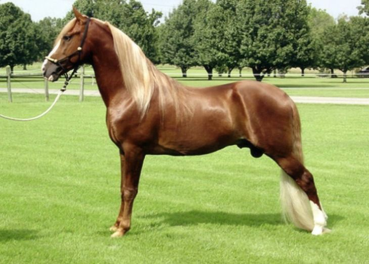 Best 25+ Tennessee walking horse ideas on Pinterest | Horse breeds, Indian o and Russian american