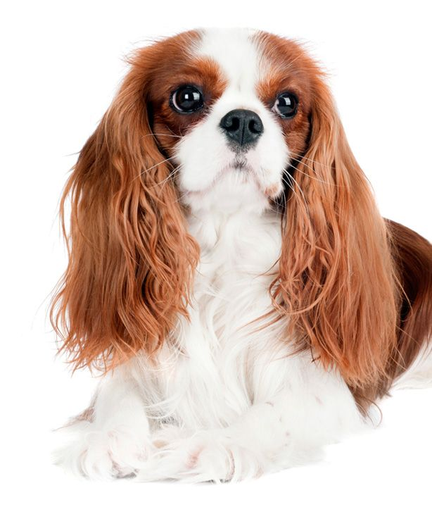 449 Best Cavalier King Charles Spaniels Images On